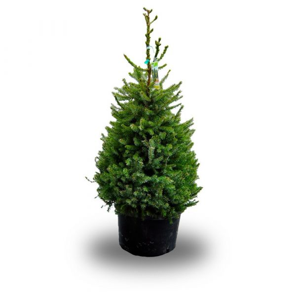 Picea Omorika albero vero 80-100