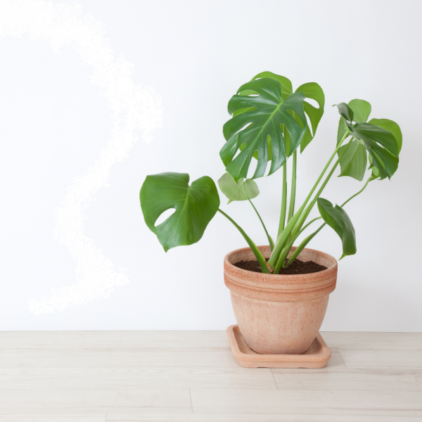 Philodendron  v.17