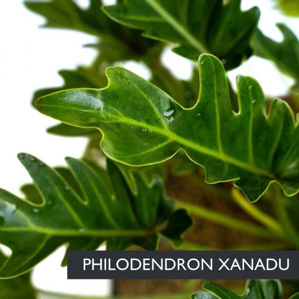 Filodendro (Philodendron) Ø17cm   Altezza 40-50 cm