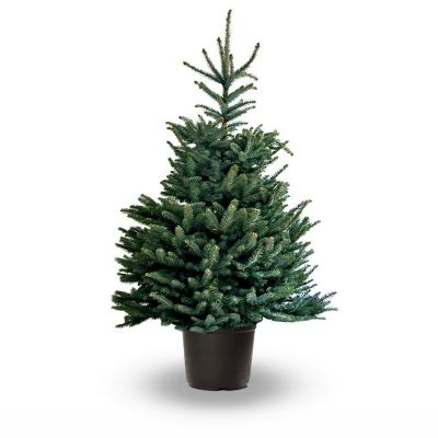 Picea Pungens glauca albero vero 125-150