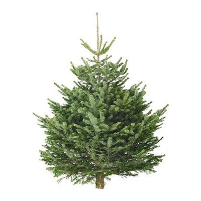 Abies nordmanniana punta di albero 200-225