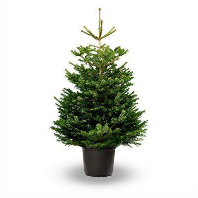 Abies nordmanniana albero vero 125-150
