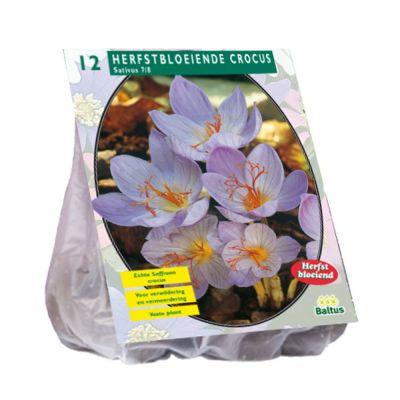 Crocus sativus (zafferano)