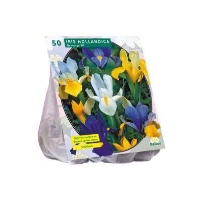 Iris d'olanda