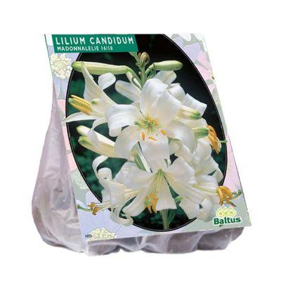 Lilium candidum (giglio di sant'antonio)