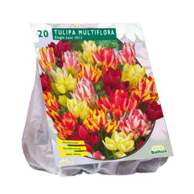 Tulipani multiflora assortiti