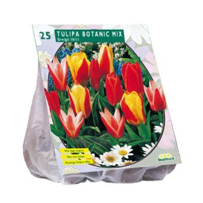 Tulipani botanici greigii assortiti