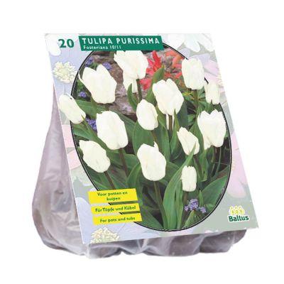 Tulipani fosteriana purissima