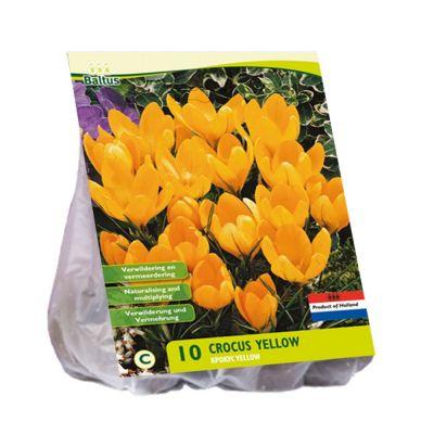 Crocus gialli