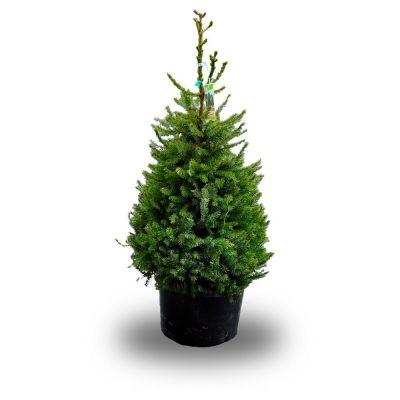 Picea omorika albero vero 175-200