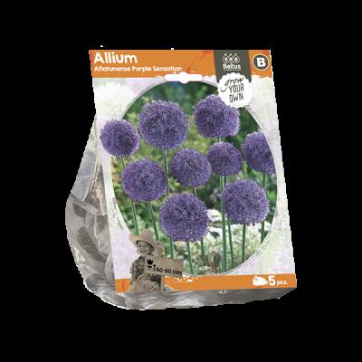 Allium aflatunense purple s.