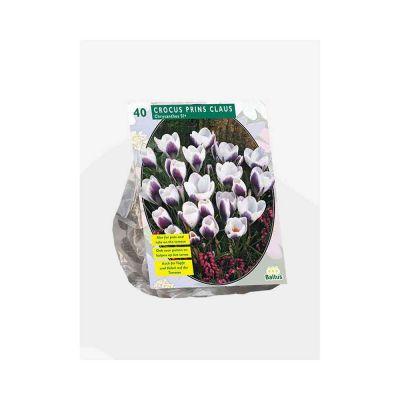 Crocus chrysanthus prins clau bulbi x 40