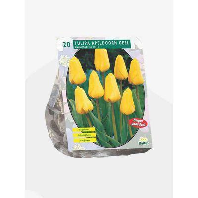 Tulipani apeldoorn geel darwin bulbi x 20