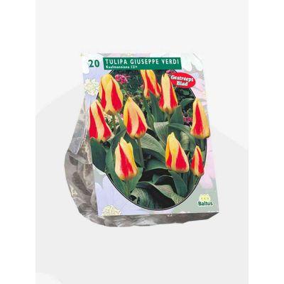 Tulipani Giuseppe Verdi kaufm. bulbi x 20