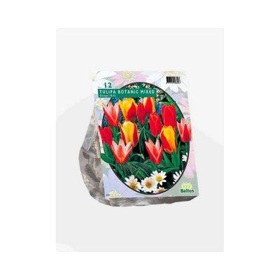 Tulipani greigii mix bulbi x 12