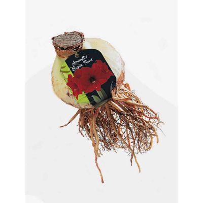 Amaryllis su rood bulbi