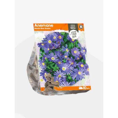 Anemone blanda blue shades bulbi x 10