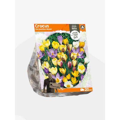 Crocus chrysanthus mixed bulbi x 20