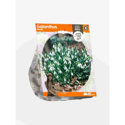 Galanthus nivalis bulbi x 10