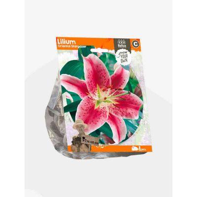 Lilium oriental stargazer bulbi x  1