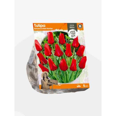 Tulipani botanical red hunter bulbi x  5