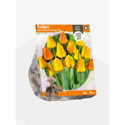 Tulipani darwin hybrid orange bulbi x  5