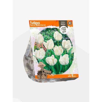 Tulipani parrot white parrot bulbi x  5