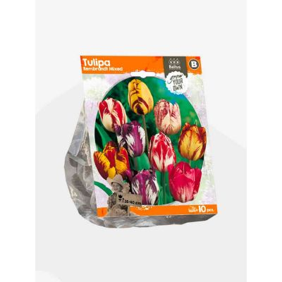 Tulipani rembrandt mixed bulbi x 10
