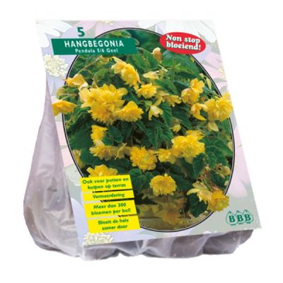 Begonia pendula, geel