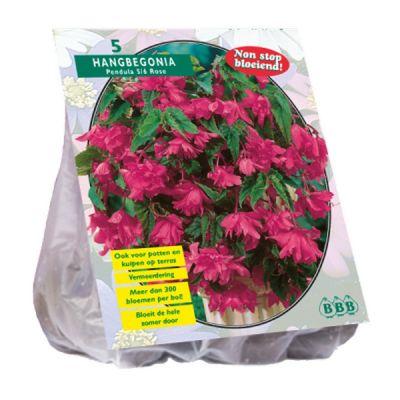 Bulbi Begonia pendula rosa