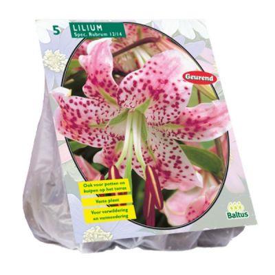 Bulbi Lilium Speciosum Rubrum