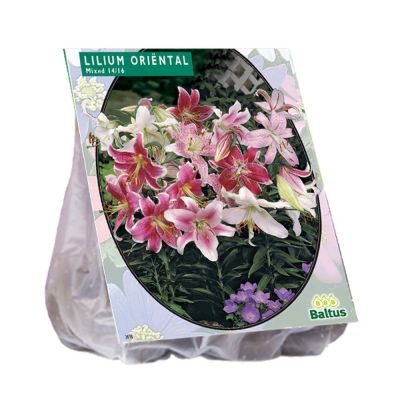 Bulbi Lilium oriental mix