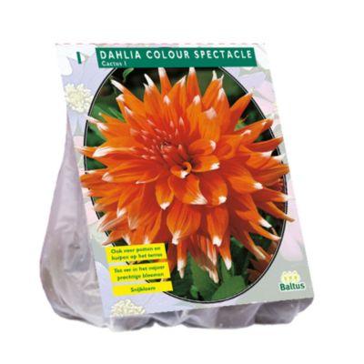 Dahlia cactus colour spectacle