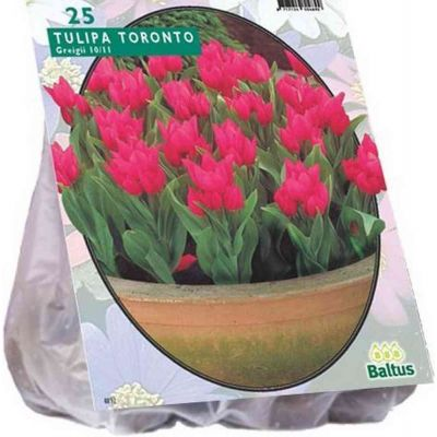 Tulipa toronto greigii bulb PZ. 25