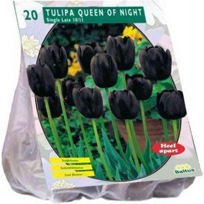 Tulipa queen of night enkel bulbiPZ. 20