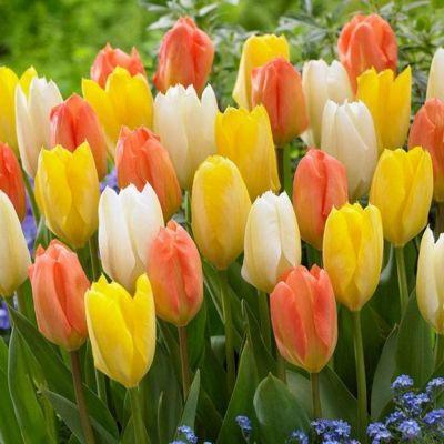 Tulipani blend emperor bulbi confezione da 20
