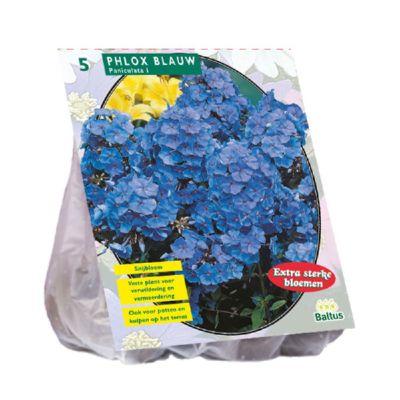 Phlox Blu bulbi x5
