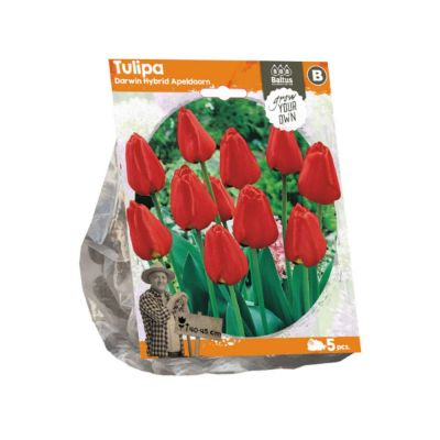 Tulipani darwin hybrid apeldoorn
