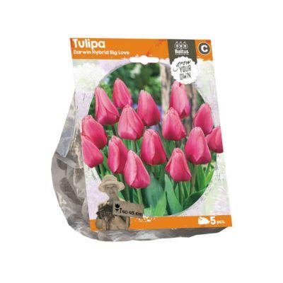 Tulipani darwin hybrid big love