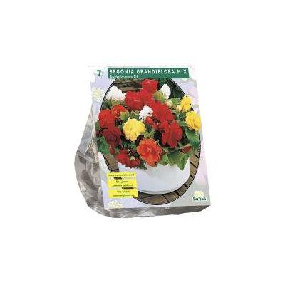 Begonia dubbel mix