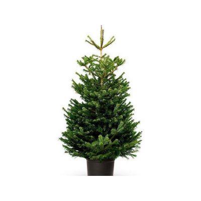 Abies nordmanniana albero vero in vaso 125-150 cm