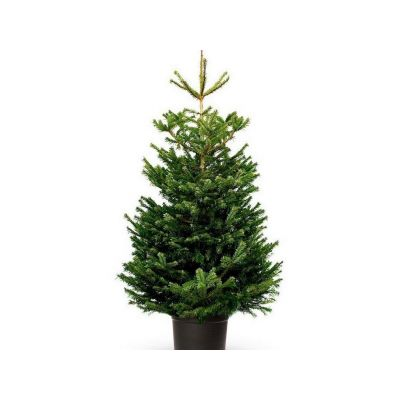 Abies nordmanniana punta di albero 150-175