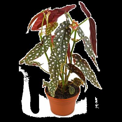 Begonia maculata vaso Ø14 cm | Altezza 30-35 cm