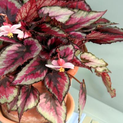Begonia rex mix vaso Ø12 cm| Altezza 25-30 cm