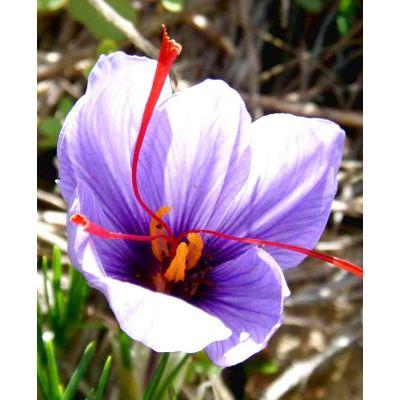 Bulbi di zafferano | Crocus sativus confezione da 10 bulbi (IN PROMO 3X2)
