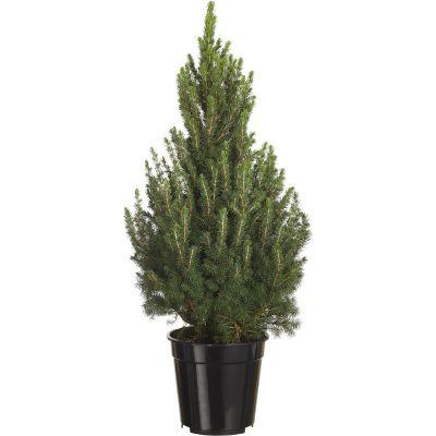 Picea glauca 'conica'          90-100 cm
