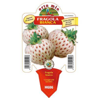 Fragola Bianca Ananas in vaso 10 H686