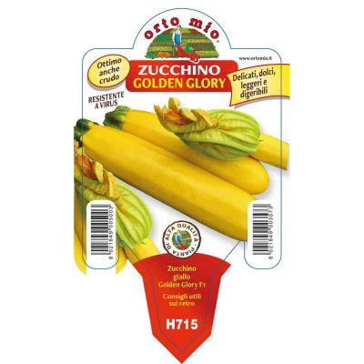 Zucchino Giallo Golden Glory in vaso 10
