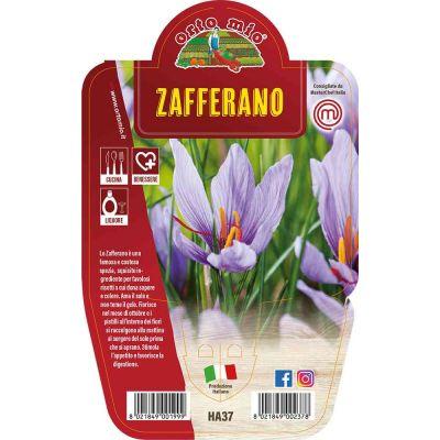 Zafferano in vaso 14 HA37