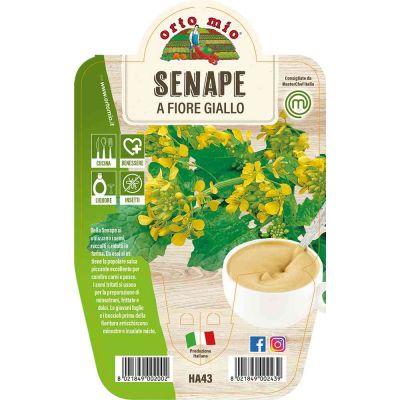 Senape in vaso 14 HA43
